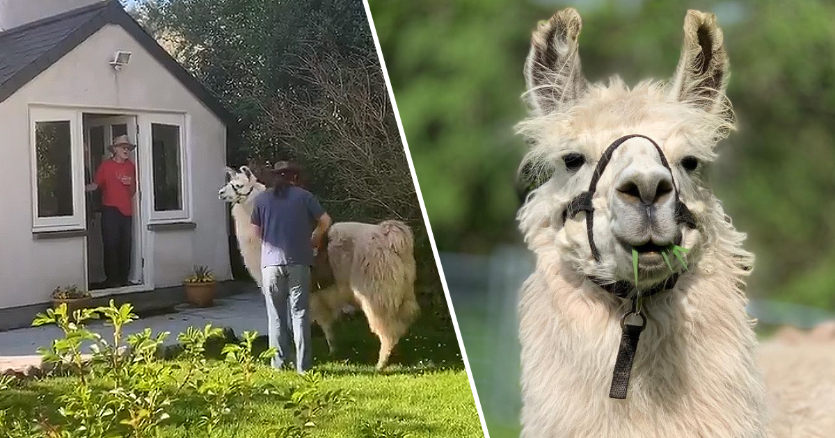 Llamas Are Now Delivering Food To People In Isolation In South Wales