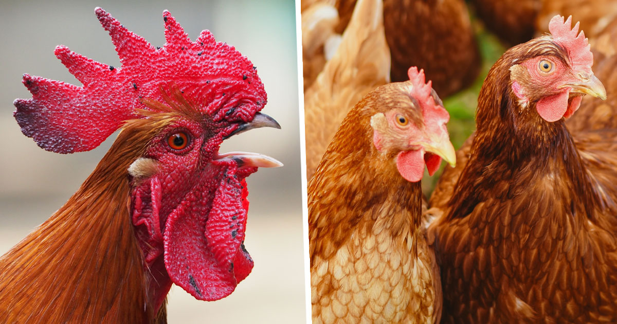 Man Admits Having Sex With Chickens As His Wife Filmed